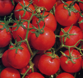 Organic Tomato - Bloody Butcher (Red)