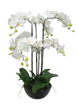 Stoneleigh & Roberson 5 Stems Orchid in Pot