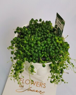String of Pearls in Container