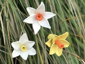 Daffodils OUT OF STOCK