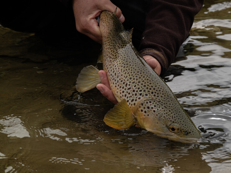mayfly, brown trout, golden, NZ, New Zealand, Todd Adolph
