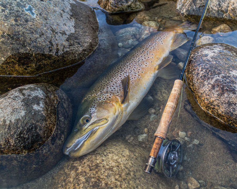 Trophy brown trout from a southland road trip, 10 pounds of prime condition Todd Adolph