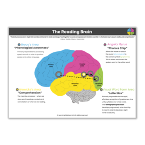 The Reading Brain - A3 Poster