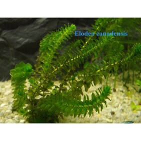 Pond Oxygen Weed 10 bunches