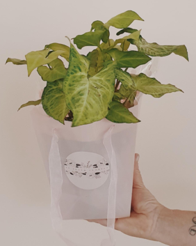 Plant - Syngonium White Butterfly