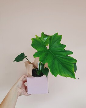 Philodendron selluoum Hope